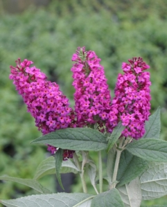 Buddleja_Miss_Ruby_1